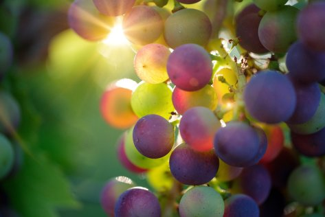 FREE Pixabay - Grapes